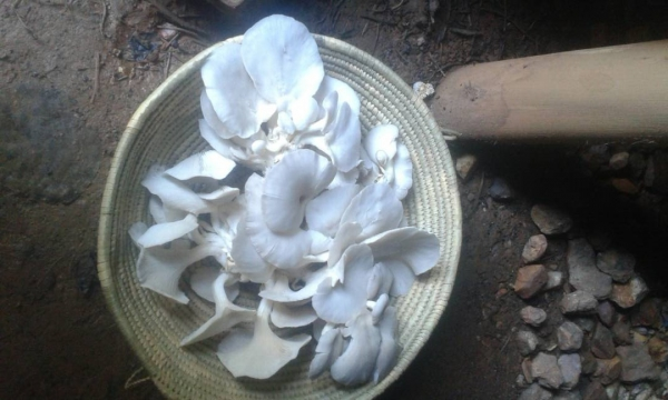 KMDF Project News: Joy and Smiles as Upper Bugongi Youth Group start harvesting mushrooms
